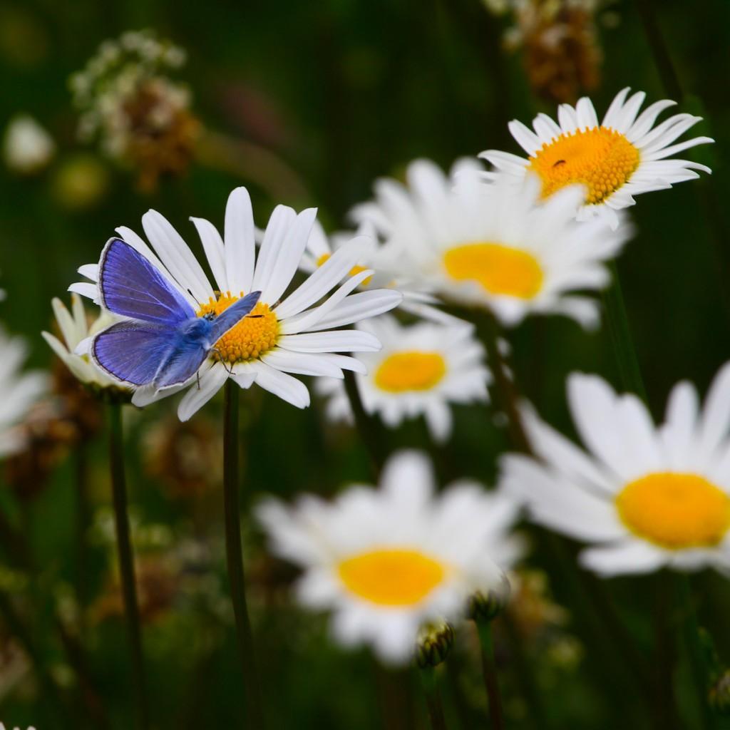 vlinder op een margriet bij de Berghut.com in Oostenrijk