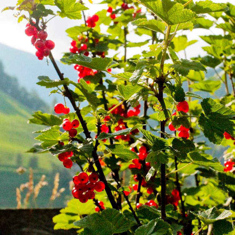 rode bessen bij de Berhgut - Oostenrijk