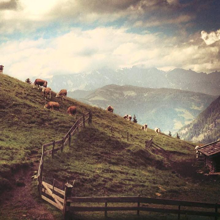 Koeien bij Berghutje.com almhut alm koeien