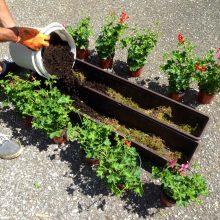 geranuims met compostgrond de Berghut 6