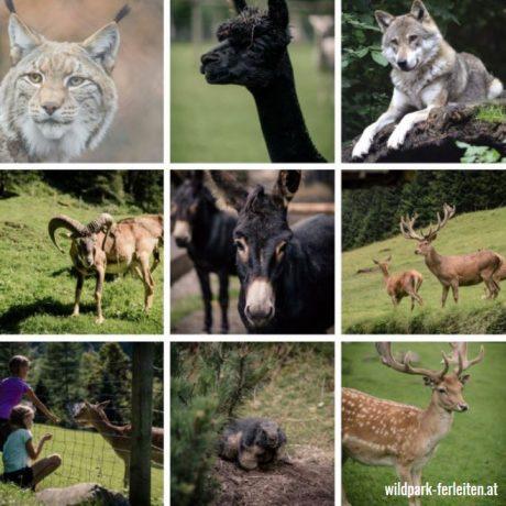 Wildpark Ferleiten zomervakantie Oostenrijk deBerghut.com vakantiewoningen kindvriendelijk